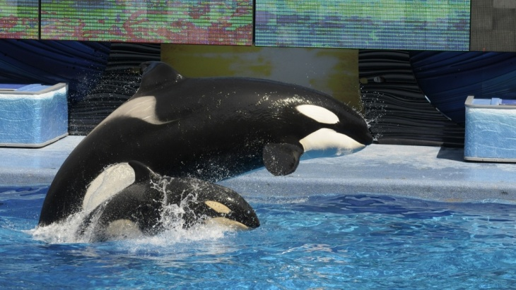 Two killer whales fly out of the water during a show at SeaWorld Orlando's Shamu Stadium in 2010.