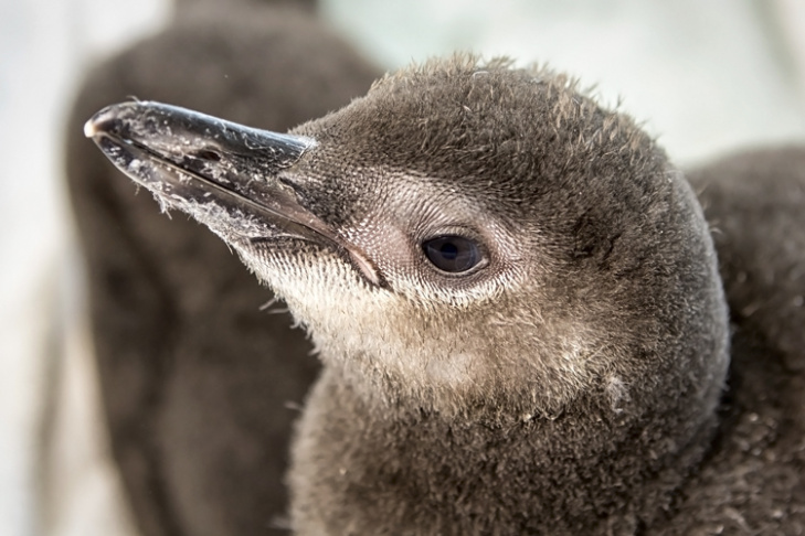 The two chicks were born to first-time parents Floyd and Roxy, residents of the Aquarium of the Pacific's June Keyes Penguin Habitat