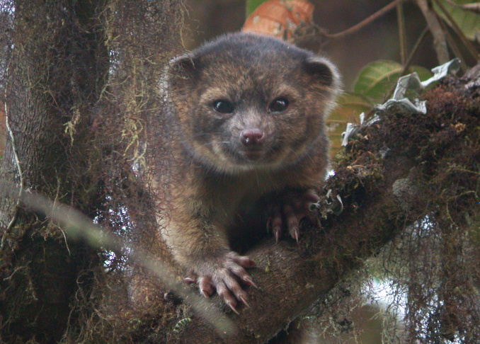 In this handout photo provided by Smithsonian, an olinguito, a new species of Carnivore which has been newly discovered, is seen in an undated photo. The olinguito (Bassaricyon neblina) had been mistakenly identified for more than 100 years and is also the first carnivore species to be discovered in the American continents in 35 years.