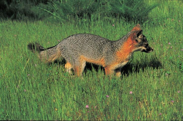 A fox species native to California's Channel Islands is shown in this photo courtesy of the U.S. Fish and Wildlife Service.