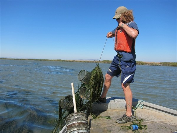 UC Davis researchers pull minnow traps from waters of Suisun Marsh in western Delta.