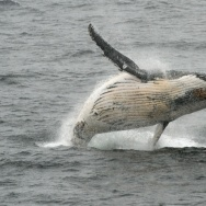 A humpback whale jumps out of the water in the western Antarctic peninsula, on March 05, 2016.