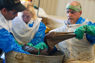 Veterinarians clean an oil covered brown pelican found off the Louisiana coast and affected by the BP Deepwater Horizon oil spill at the Fort Jackson Oiled Wildlife Rehabilitation Center in Buras, Louisiana