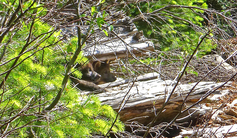 Two of wolf OR7's pups peek out from a log on the Rogue River-Siskiyou National Forest, June 2, 2014.