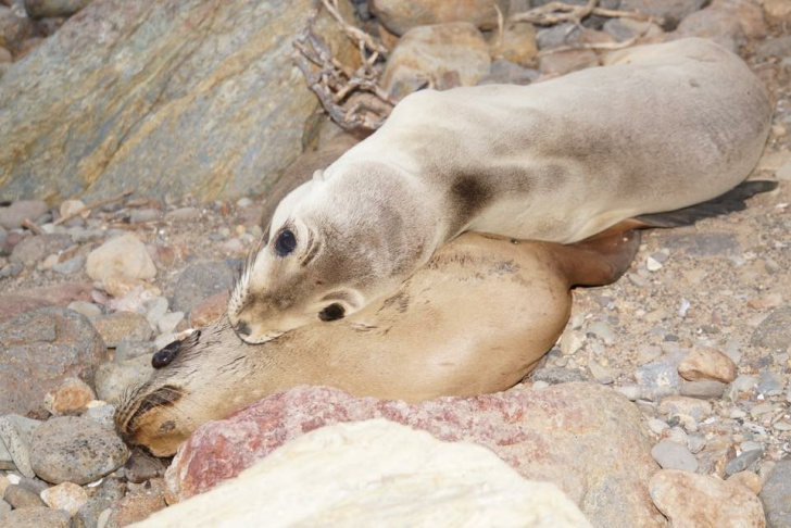 Sea lion pups photographed at Point Dume on March 9, 2015. One (bottom) is believed to be dead.