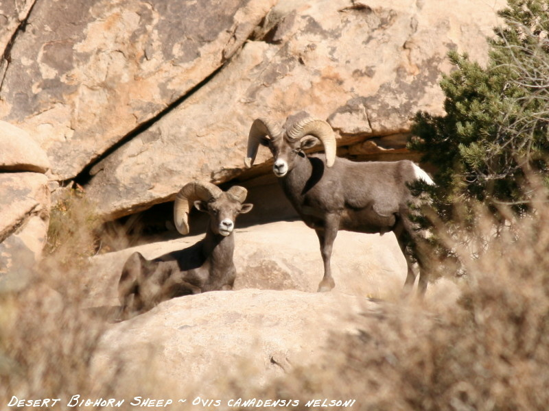 Joshua Tree NP is home to about 250 Nelson's Bighorn. If you want to know how many of those guys are in San Gabriel mountains, state Fish and Game wants to talk to you.