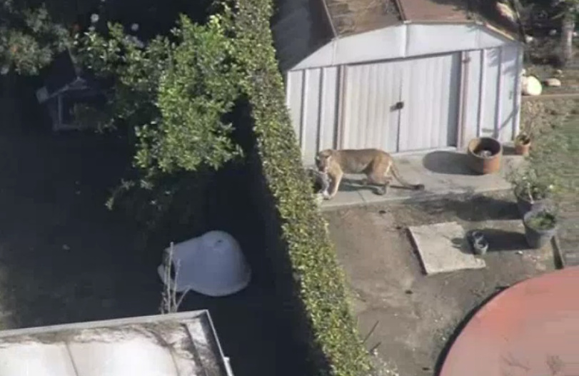 This screenshot, courtesy of aerial footage from NBC4, shows a mountain lion wandering a backyard in Azusa on Monday, March 26, 2018. The puma was later tranquilized and returned to the wild.