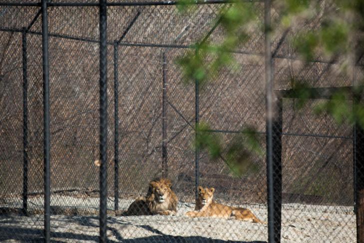 12 - Tippi Hedren Shambala Preserve Feline Cat Tiger Lion