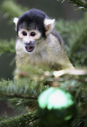 London Zoo Monkeys Receive Christmas Gifts