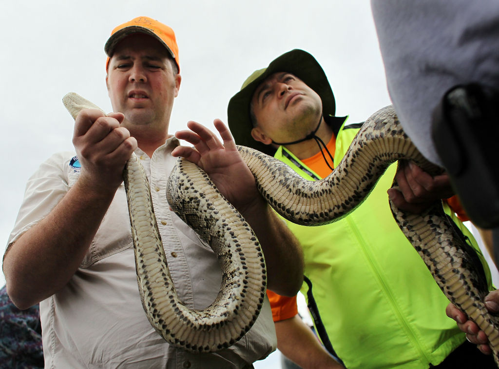 Brian Jones (L) and Ismael Vasquez hold a Burmese Python that was being used for hands on training during a Florida Fish and Wildlife Conservation Commission nonnative snake hunt training session on February 22, 2010 in Miami, Florida.  The training session showed prospective hunters how to identify, stalk, capture and remove nonnative reptiles during the hunting season which runs from March 8 to April 17. Some experts believe more than 100,000 non-native Burmese pythons inhabit the Florida Everglades and are damaging the region's endangered wildlife.