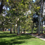 A few of the roughly 1,100 trees in UC Irvine's Aldrich Park. Many of them are in danger thanks to the invasive polyphagous shot hole borer.
