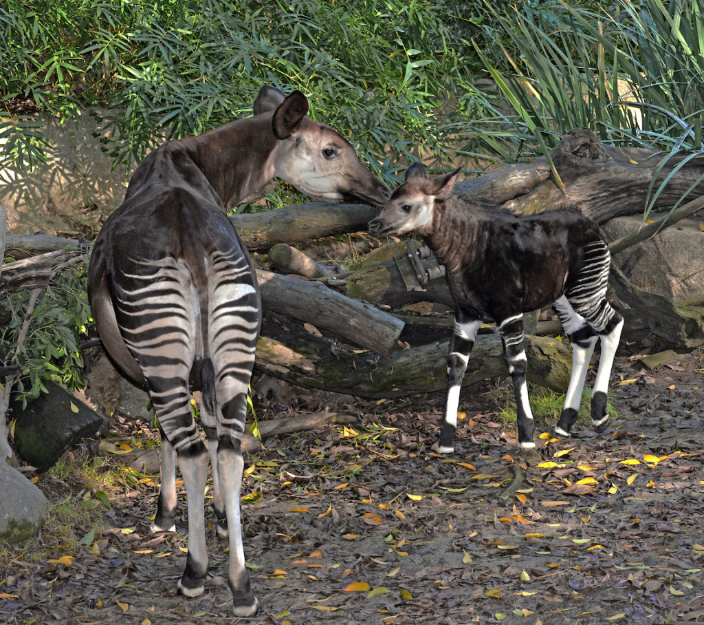 An okapi mom with her calf at the L.A. Zoo.