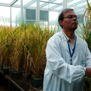 Plant Biotechnologist Dr. Swapan Datta inspects a genetically modified 'Golden Rice' plant at the International Rice Research Institute (IRRI) at IRRC's headquarters in Los Banos, Philippines.