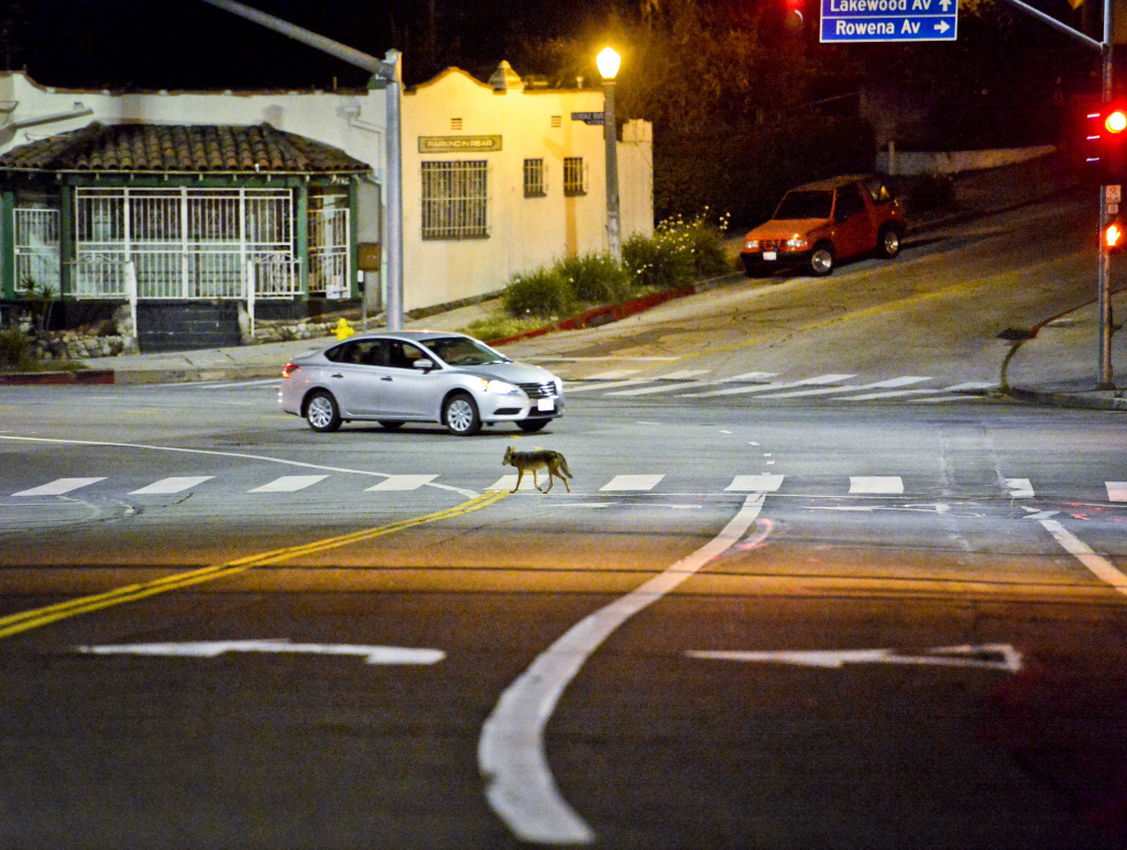 Coyote C145 walks across Glendale Blvd in Silver Lake near downtown Los Angeles late Wednesday evening June 3rd.    National Park Service Ecologist Justin Brown tracks coyotes living near downtown Los Angeles late Wednesday night June 3 and early Thursday morning June 4, 2015, in Los Angeles, CA. Some of the coyotes are fitted with radio collars.