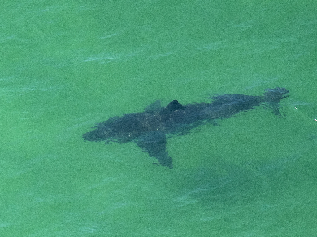 A great white shark swims off the shore of Cape Cod, Mass., in July 2019. A woman was killed by a great white in Maine on Monday — the first fatal attack in the state's history.