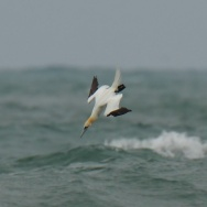 Gannet plunging into NY Harbor