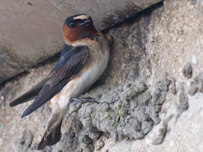 Cliff Swallow ( petrochelidon pyrrhonota) with the early makings of a nest.