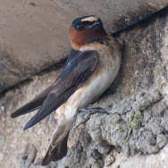 Cliff Swallow Capistrano