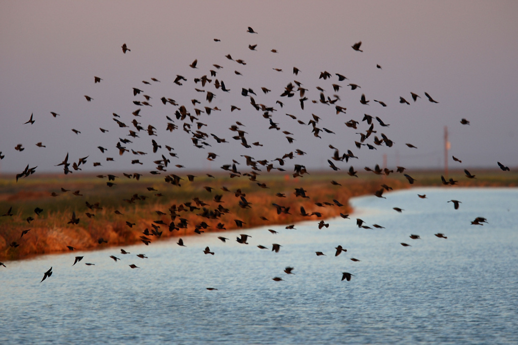 Blackbirds fly over an irrigation canal on April 17, 2009 near Firebaugh, California.