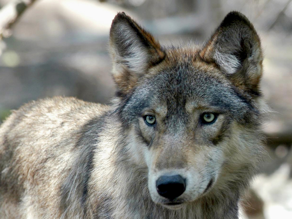 Colorado voters narrowly approved a ballot measure to reintroduce the gray wolf decades after it disappeared from the state.
