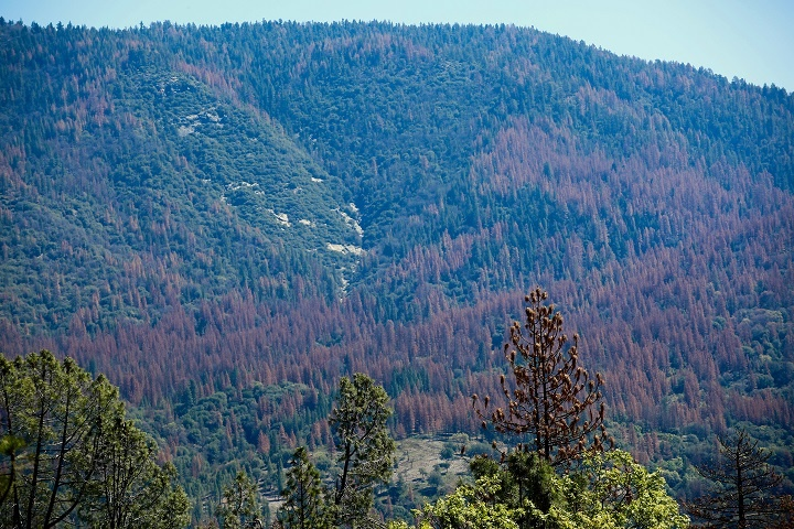 A view of the California Sierras showing tree mortality. Scientists say primary causes are drought and pests.