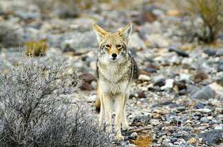A coyote in California's Death Valley National Park.