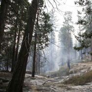 Sequoia trees are back burned near General Grant tree at Grant Grove in Kings Canyon National Park, Calif., Saturday, Sept. 12, 2015. (AP Photo/Gary Kazanjian)