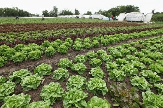 An organic lettuce farm.