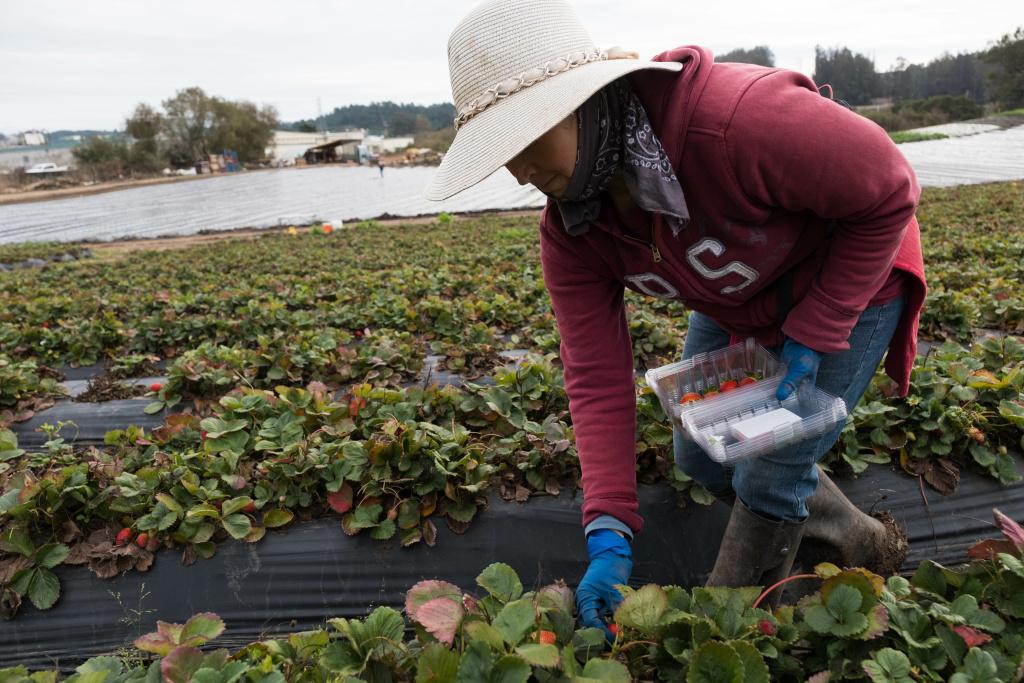 A worker picks strawberries on Bertha Magaña's farm in Prunedale. Andrew Nixon / Capital Public Radio