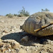 FILE - This Sept. 3, 2008 file photo shows an endangered desert tortoise, sitting in the middle of a road at the proposed location of three BrightSource Energy solar-energy generation complexes in the eastern Mojave Desert near Ivanpah, Calif.