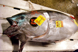 Possible blue fin tuna ban