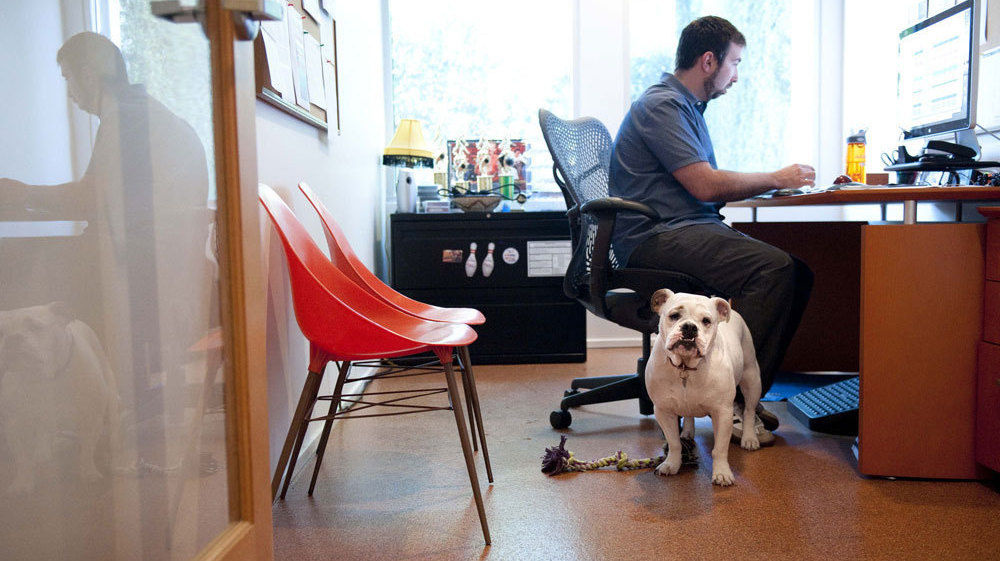 Ginger, an English bulldog, comes to work each day with Will Pisnieski. She's one of several dogs who are regular fixtures at dog-friendly Authentic Entertainment in Burbank.