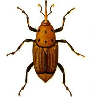 The red palm weevil is a species of beetle. Its larvae can excavate holes up to a metre long in the trunk of palm trees.