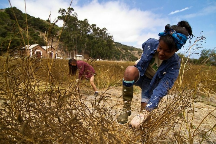 LEAF interns Keira Adams, right, and Sharon Tam, left, remove invasive grasses on Santa Cruz Island.