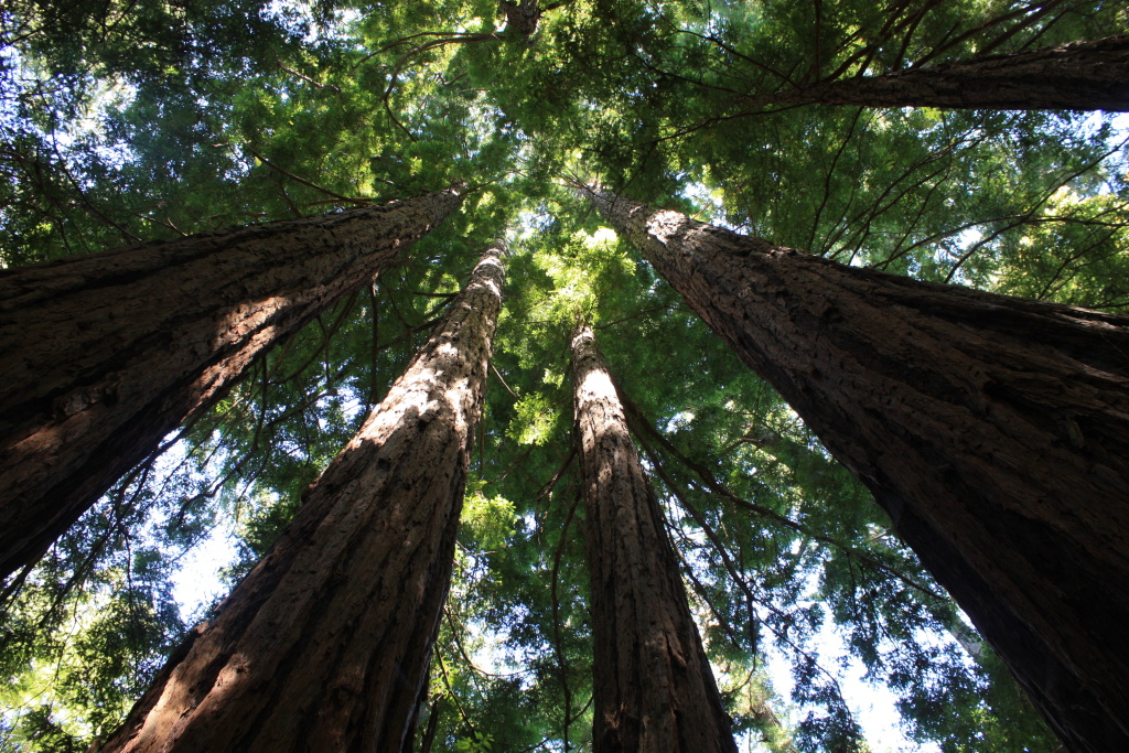 Towering Redwoods at Butano State Park