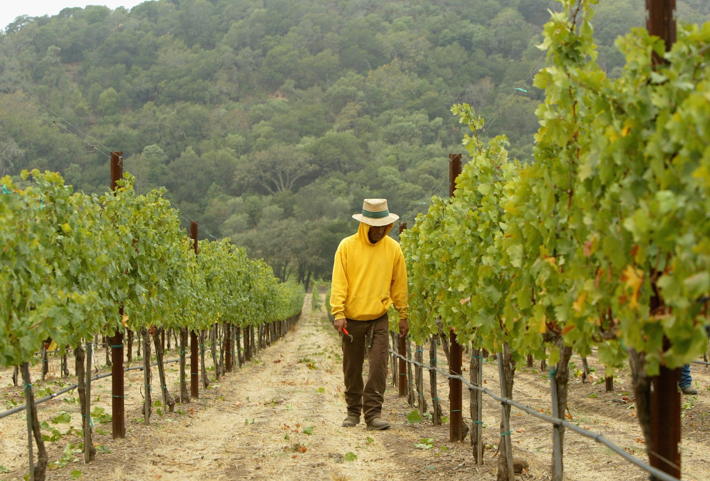 A worker inspects cabernet sauvignon wine grapes at the Stags' Leap Winery September 27, 2004 in Napa, California. The 2004 California wine harvest kicked off during the last week of July, at least two weeks ahead of schedule due to unusually warm weather at the beginning of March, which triggered budbreak in a majority of vineyards throughout California.