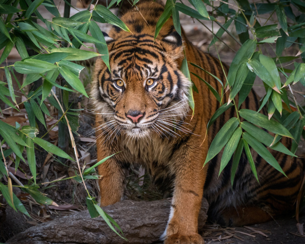The Sumatran tigers, C.J. and Indah, lay next to each other at the Los Angeles Zoo.