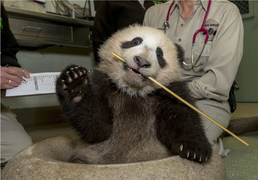 File: In this Thursday, Dec. 27, 2012 photo released by the San Diego Zoo, taken  Xiao Liwu, the giant panda cub is examined by zoo veterinarians at the zoo in San Diego. Xiao Liwu appears to enjoy the attention and new toys he was given during his weekly exam. The new play items included a sitting doughnut- shaped plastic ring, a stick of bamboo and a plastic ball.