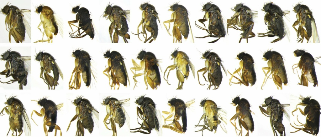 Some of the new fly species found recently around Los Angeles.