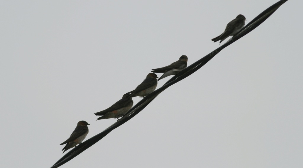 Cliff swallows on a line.