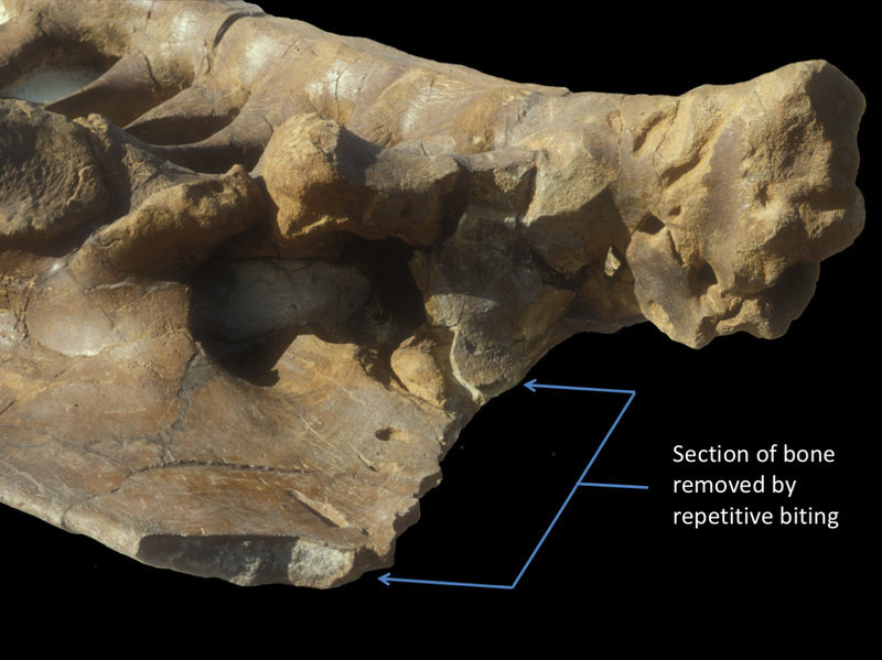 A Triceratops pelvis bearing nearly 80 T. rex bite marks. The bracket shows a region where the carnivore repeatedly removed sections of bone.