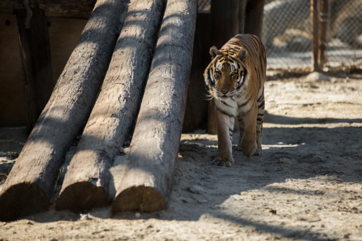Shera Kahn approaches the fence at the edge of her habitat. Tigers like Shera Kahn are brought to the Shambala Preserve after private citizens can no longer look after the animals or the cats are confiscated by authorities.