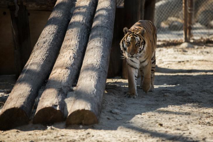 09 - Tippi Hedren Shambala Preserve Feline Cat Tiger Lion