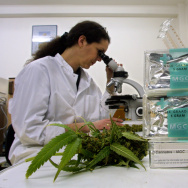 An assistant studies marijuana/cannabis leaves in a laboratory.