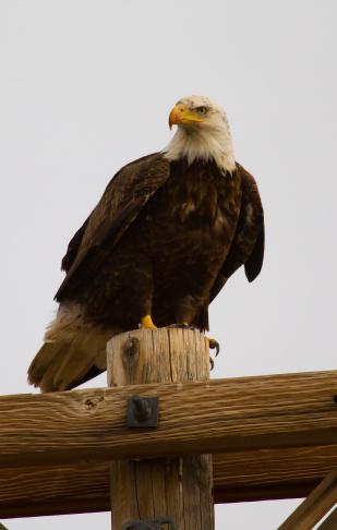 Bald eagle in Utah.