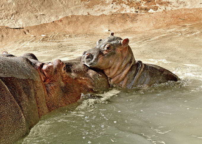 The L.A. Zoo's 10-year-old hippo Mara with her new baby.