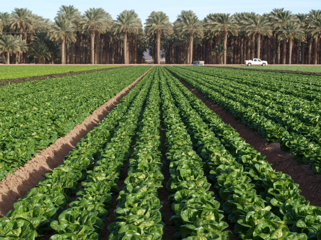 You're looking at Little Gem lettuce in the only nook of California not presently in a drought: the Bard Valley, near the Colorado River and Arizona border.