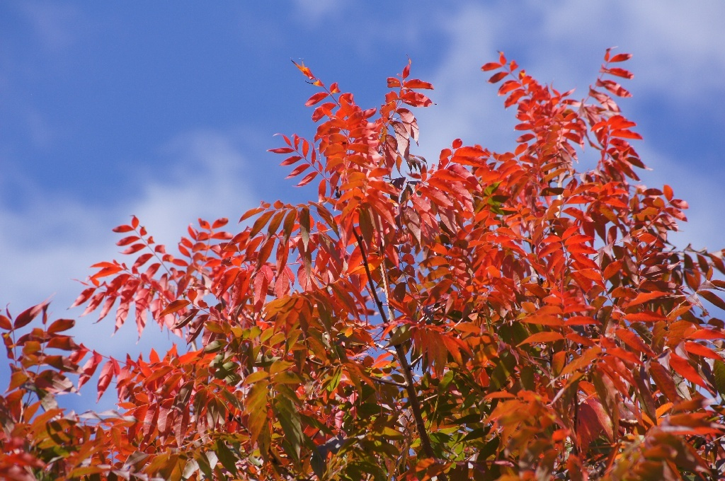 The bright red autumn leaves of a Chinese pistachio tree in Brisbane, Australia.