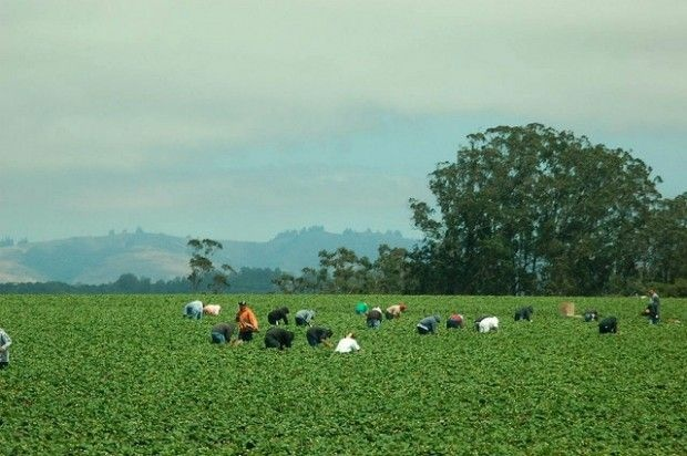 Agricultural workers in a field near the California coast, August 2007