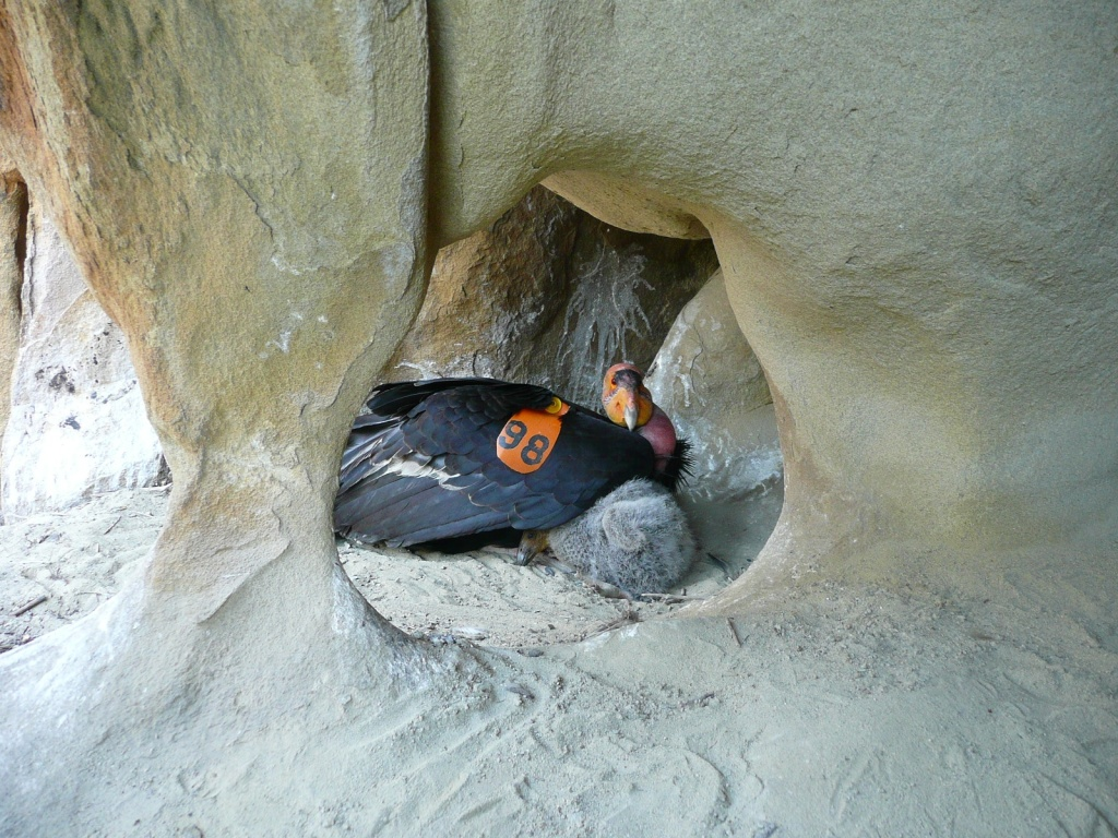 A California condor protects its chick in a nest cave near Hopper Mountain National Wildlife Refuge during the 2008 nesting season.